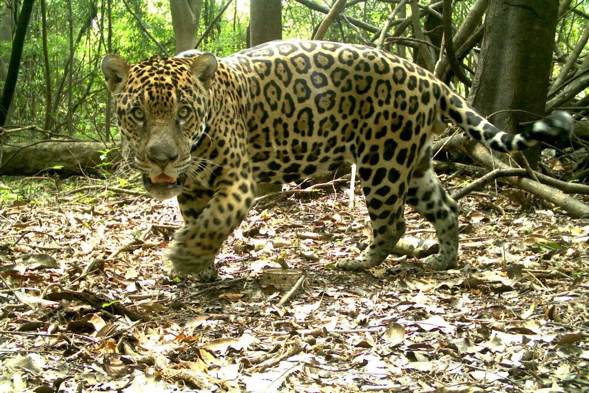 Animal foi registrado por armadilha fotográfica do Instituto Mamirauá momentos antes da captura. Crédito: Instituto Mamirauá