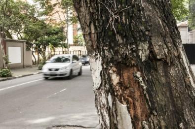 Softwares ajudam a monitorar a saúde das árvores das cidades (foto: Eduardo Cesar/Revista Pesquisa FAPESP)