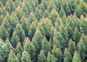 reflorestamento 300x212 Eucatex Florestal anuncia vaga para Supervisor de Geoprocessamento